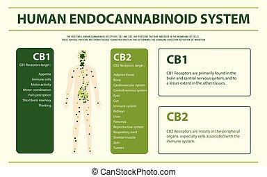 人間, システム, infographic, endocannabinoid, 横