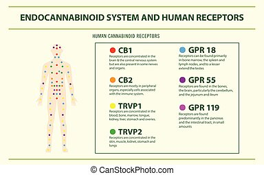 人間, 受容器, infographic, システム, 横, endocannabinoid