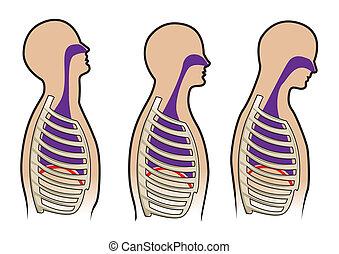 人間, 呼吸, 図, 中に, ベクトル