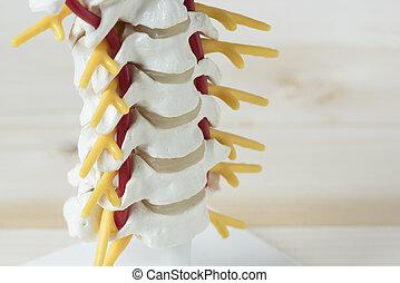 人間, 子宮頸管のとげ, モデル
