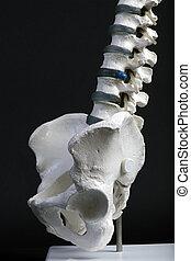 人間, 骨盤, そして, 脊柱, サイド光景