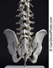 人間, 骨盤, そして, 脊柱, 正面図, 終わり