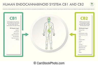 人間, cb2, cb1, ビジネス, システム, 横, endocannabinoid, infographic