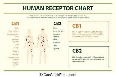人間, infographic, 横, 受容器, チャート, 完了しなさい