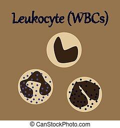 人類, 器官, 圖象, 在, 套間, 風格, leukocyte