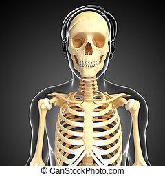 人類, 正面圖, 骨骼