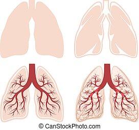 人類, 肺, 矢量