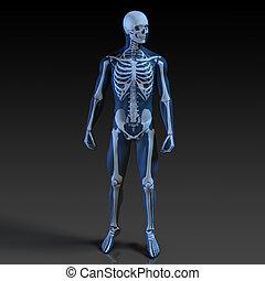 人體, 以及, 骨骼, 解剖學
