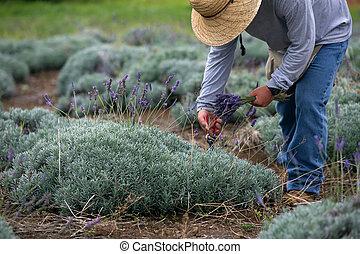 人, ラベンダー, 収穫する