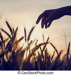 人, 伸出, 到, 接觸, 小麥, 耳朵