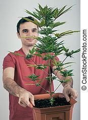 人, 由于, cannabis植物