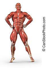 人, 肌肉的系統, 前面的意見, 在, 健美運動員, 位置