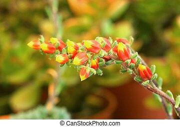 仙人掌花, plant.