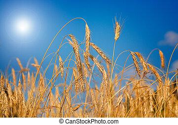 令人惊嘆, 成熟, 小麥, 針對, 藍色的天空, 背景。
