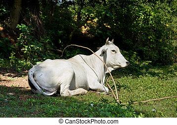 休む, アジア人, 牛, ミルク