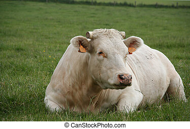 休む, 牛