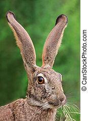 低木, ノウサギ, 肖像画