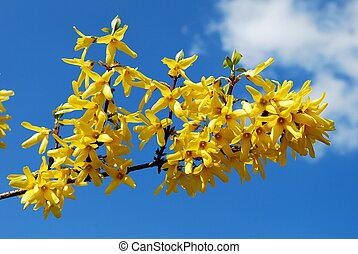 低木, 咲く, flowers., 春, forsythia.