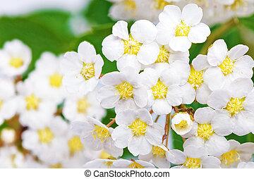 低木, 花が咲く, aguta, wreath)., spirea, (brides, 美しい, 白