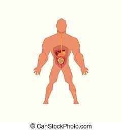 体, 人間, システム, イラスト, 解剖学, ベクトル, 背景, 生物学である, 白, 消化が良い