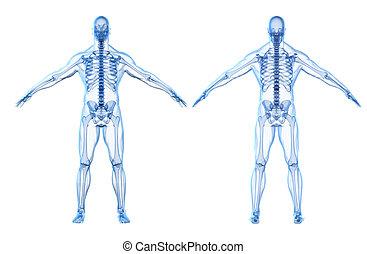 体, 人間, render, skeleto, 3d