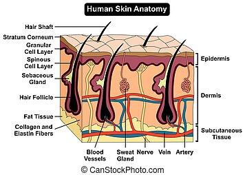 体, 解剖学, 図, 人間の皮膚