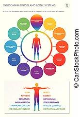 体, infographic, 縦, ビジネス, endocannabinoid, システム