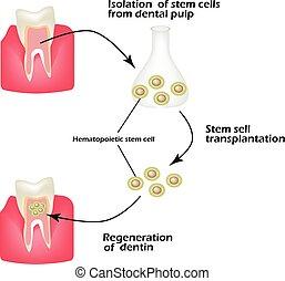 使われた, 再生しなさい, 細胞, dentin., 病んでいる, イラスト, 茎, dentin,...