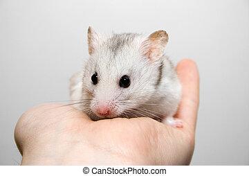 倉鼠, 在, 手