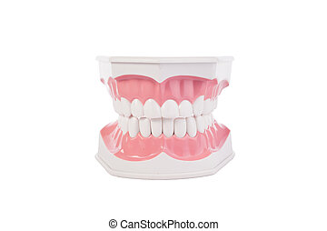 健康, 白色, 人類牙齒, 解剖, model., dentistry.