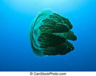 側視圖, ......的, 果子凍魚吊錨器, 在, the, 大堡礁, 澳大利亞