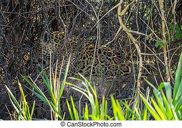 側視圖, ......的, 荒野, 美洲虎, 舔, itself, 在, 河岸, pantanal, 巴西