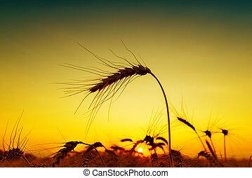 傍晚, 黑色半面畫像, 大麥, field.