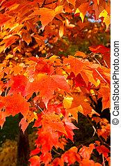 充分的框架, 束, 橙, 秋季槭樹葉, 樹