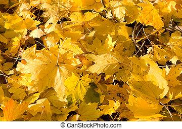 充分的框架, 束, 黃色, 秋季槭樹葉, 地面