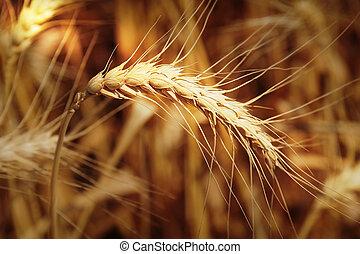光線, 小麦, スパイク