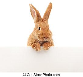 兔子, 由于, 空白