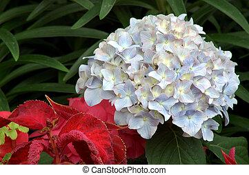 八仙花屬, jennifer