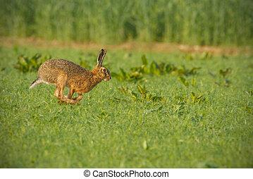 共通, ブラウン, ノウサギ, 動くこと, によって, アル中, 緑のフィールド