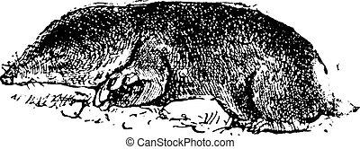 共通, モグラ, ネズミ, ∥あるいは∥, cryptomys, hottentotus, 型, 彫版
