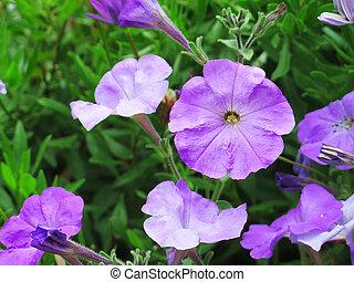 关闭, 图画, 在中, a, 紫色, 天竺葵, 花