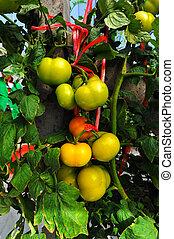 关闭, 在中, 新鲜的番茄