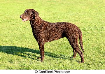 典型的, 巻き毛, 上塗を施してある, レトリーバー, 上に, a, 緑の草