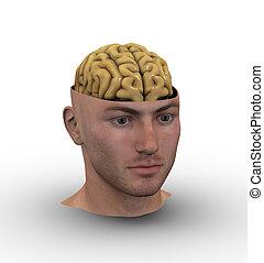 内側。, 頭, マレ, 脳, 提示