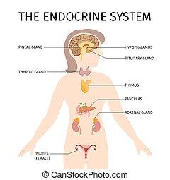 内分泌, ベクトル, システム, 女性, カラフルである, 概略図, イラスト
