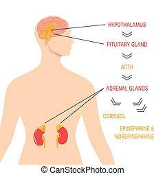 内分泌, 医学, system., ベクトル, ストレス, 応答, 図