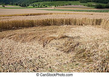 円, 中, 収穫