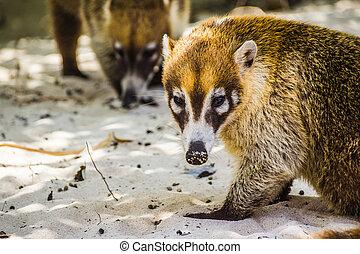 写真, coati, メキシコ人, mayan, 動物