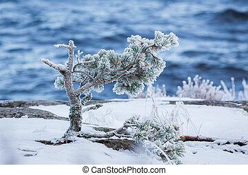 冬, 凍らせられた, 木, 湖, 松, 朝, 海岸, 小さい, 寒い