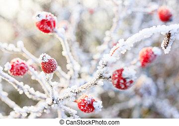 冬, 背景, 赤いベリー, 上に, ∥, 凍らせられた, ブランチ, カバーされた, ∥で∥, hoarfrost